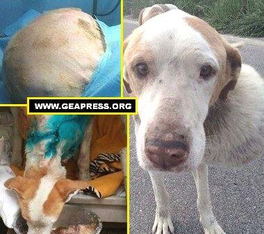 Asportato un tumore di 4kg ad un cane che viveva nei pressi della discarica a Giugliano
