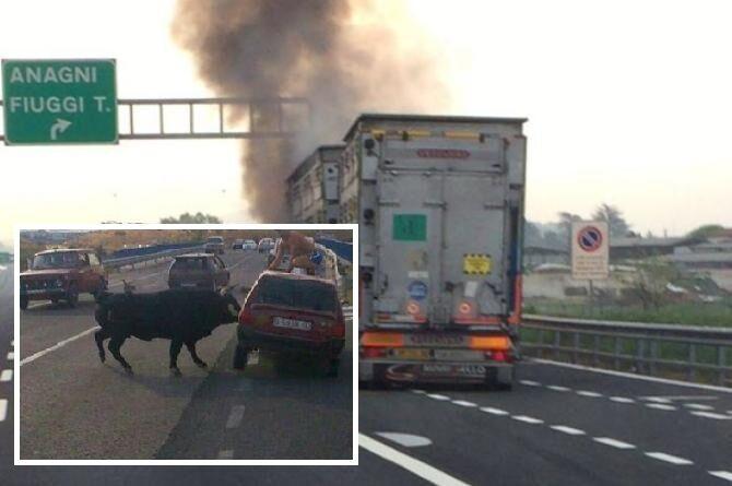 Panico sull'A1, in fiamme camion per animali. Un toro in fuga tra le auto