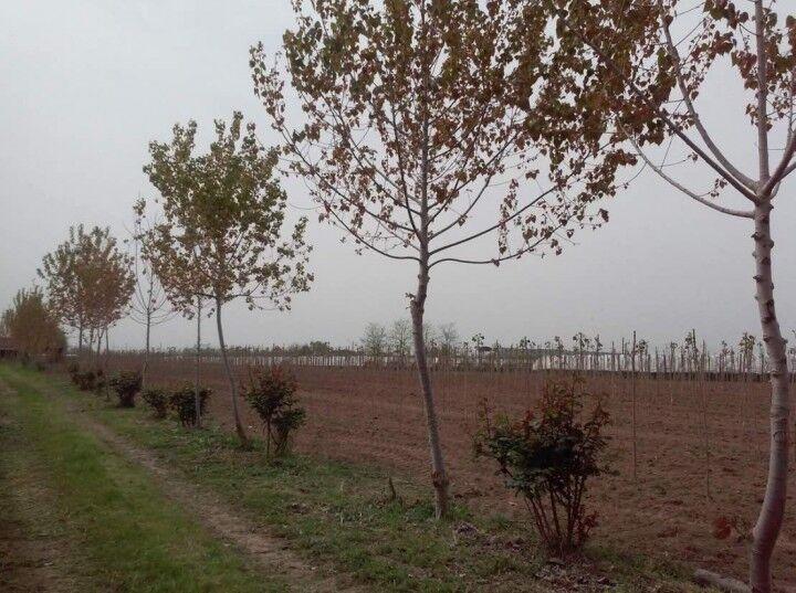 Giugliano, piantati pioppi a San Giuseppiello: si conclude la prima bonifica nell'Area vasta