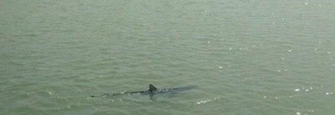 Avvistato uno squalo nel fiume. Paura tra i diportisti