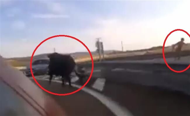 Toro impazzito sull'A1, l'animale è stato catturato. Strada riaperta