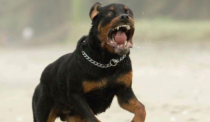 Terrore in provincia, rottweiler gira libero in strada e azzanna un bimbo. E' grave al Santobono