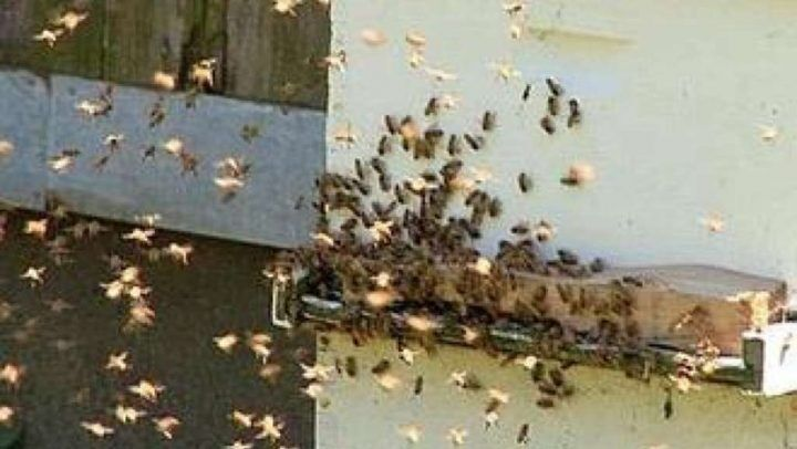 Terrore a Giugliano, 80mila api invadono un parco. Residenti barricati nelle case