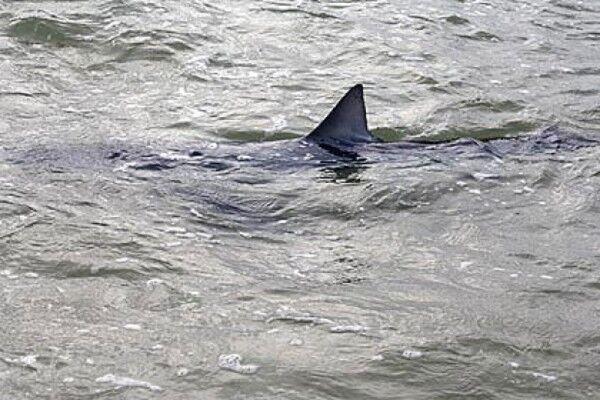 """Terrore squali sul litorale domitio, trovato cefalo sbranato. Il sindaco: """"Nessun riscontro"""""""