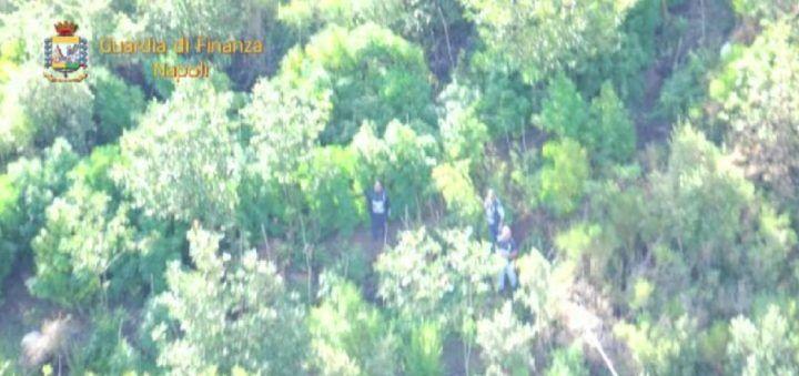 Piantagioni di marijuana a Giugliano, Qualiano e Acerra: maxi sequestro della GdF