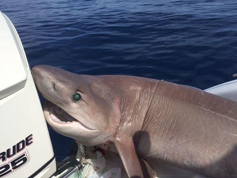 Choc a Napoli, catturato enorme squalo davanti Mergellina