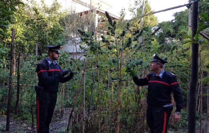 Coltiva cannabis in giardino tra arance e limoni, 35enne nei guai. IL NOME