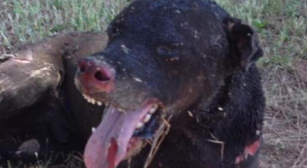 Cane Spike bruciato vivo a Pozzuoli, assolto l'unico imputato