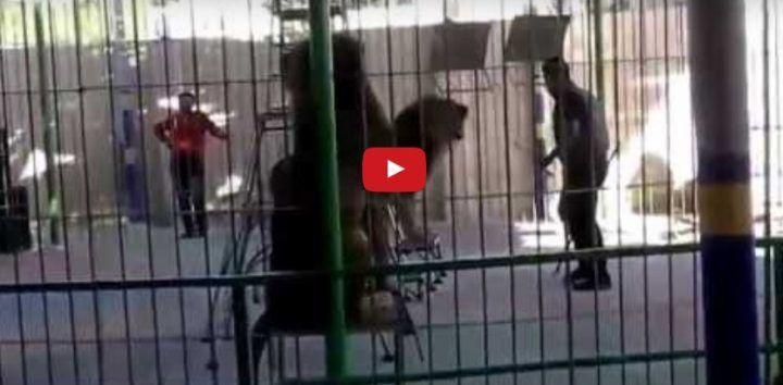Alessandria d'Egitto, leone aggredisce e sbrana domatore. VIDEO