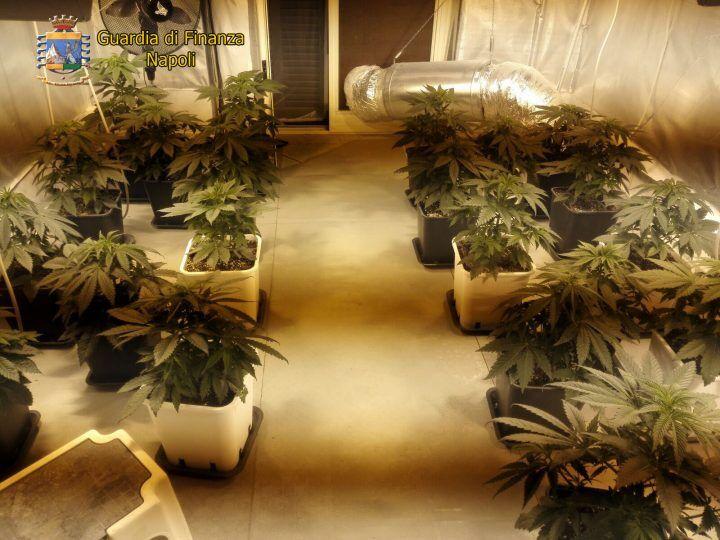 Villaricca, coltivazione di cannabis in casa. Tre persone in manette. VIDEO