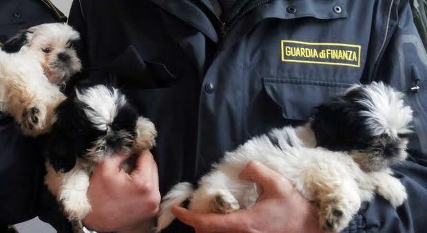 Traffico illecito di cuccioli, sequestro di 9 milioni di euro tra Napoli e Caserta