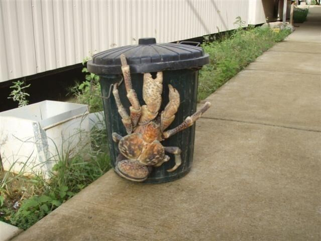 Hawaii, avvistato granchio gigante in città