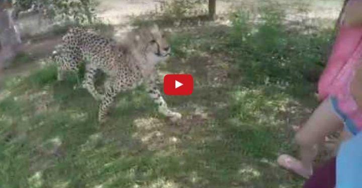 Sudafrica, ghepardo aggredisce e azzanna una studentessa. VIDEO