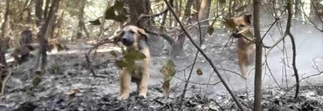 """Cuccioli ritrovati sul Vesuvio dopo l'incendio. """"Adottiamoli"""""""