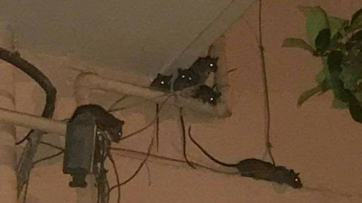 """Nola, decine di ratti invadono i balconi di via Imbroda: """"Erano grossi come gatti"""""""