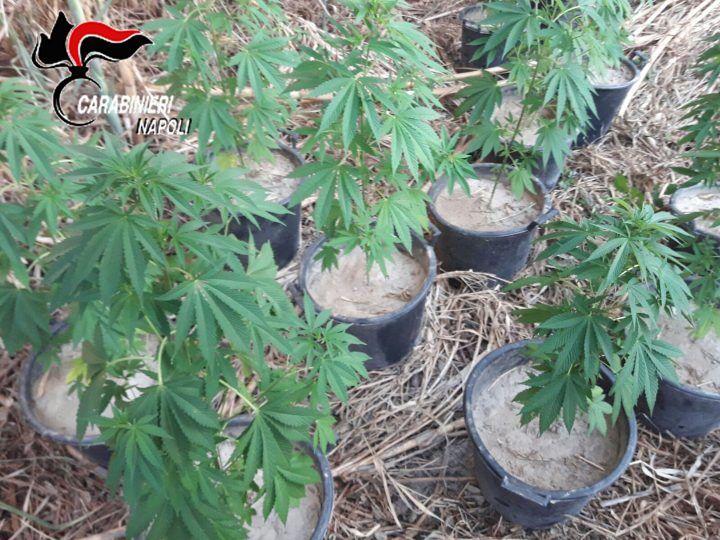 Varcaturo, piante di cannabis nascoste tra la vegetazione: arrestato giardiniere
