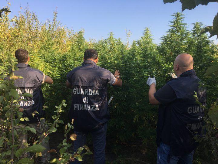 Sequestro choc nel casertano: la finanza scopre una piantagione di marijuana
