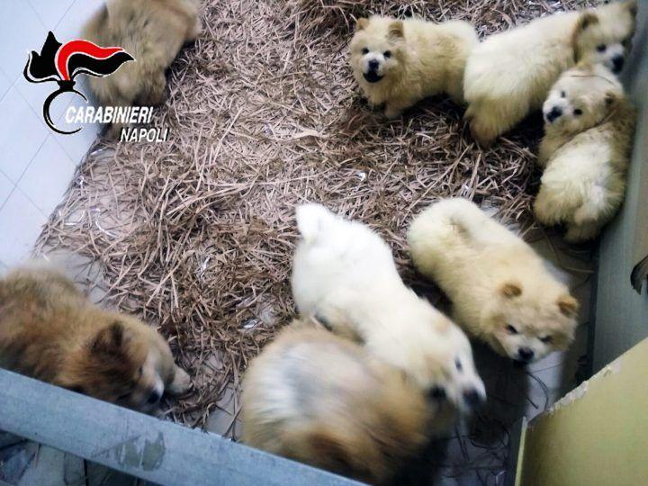 Traffico illecito di cani in provincia di Napoli, arrestato un uomo. Nei guai anche 21enne