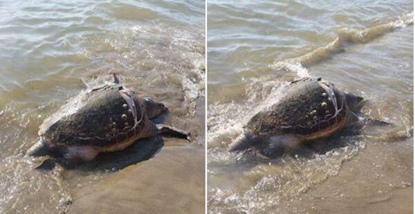Licola, ancora una tartaruga morta in spiaggia