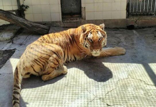"""E' morta Kashmir, la tigre di Napoli. """"Per anni nelle gabbie della vergogna"""""""