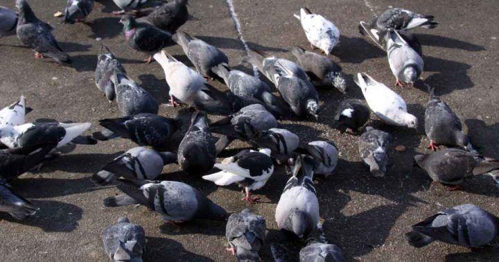 Monza, entra in contatto con escrementi di piccione e muore: grave la sorella