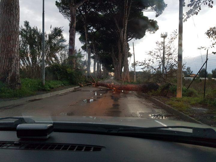 Giugliano, cade un pino in via Staffetta: tragedia sfiorata