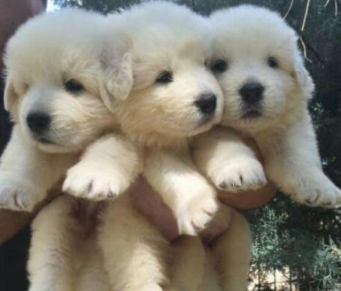 """Cuccioli di pastore maremmano in regalo"""", la catena fake che circola su  Facebook"""