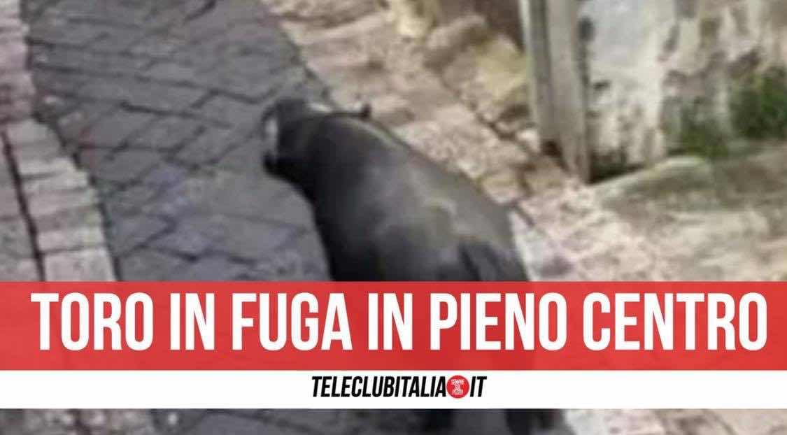toro pignataro maggiore